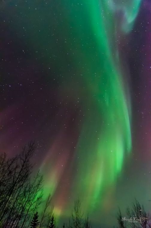 Aurora Borealis   Birch Leaf Photography