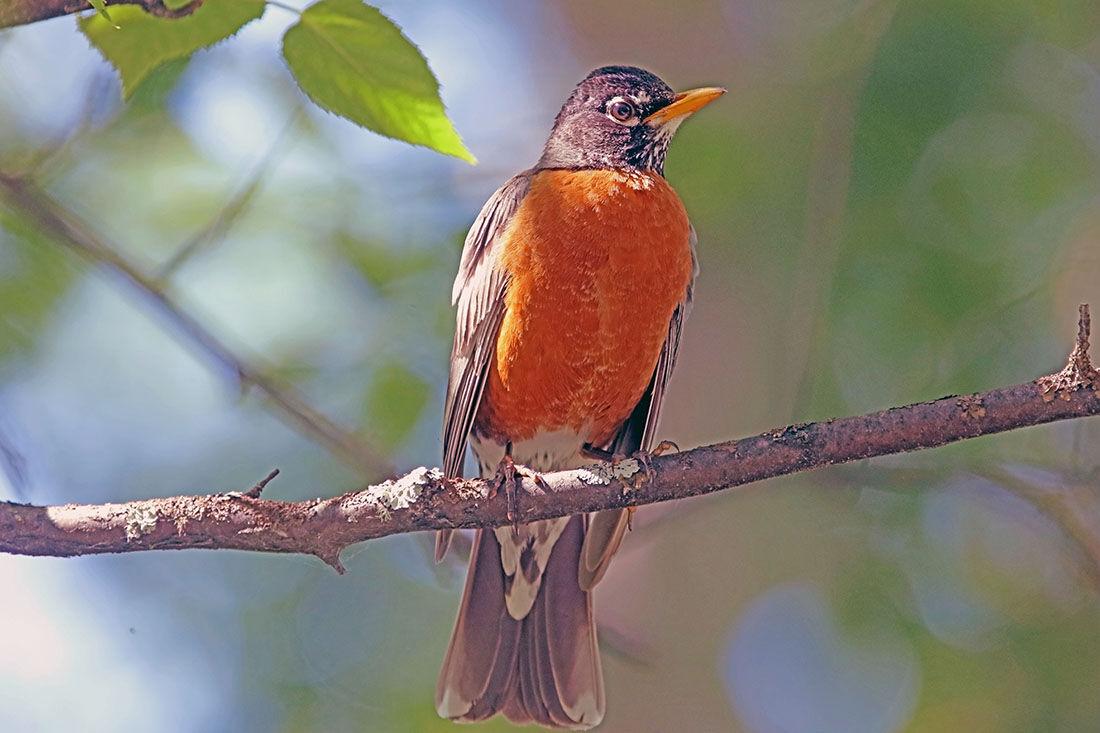 O14- American Robin.jpg