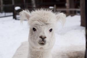 Bear breaks into Alaska Zoo, kills resident alpaca named Caesar