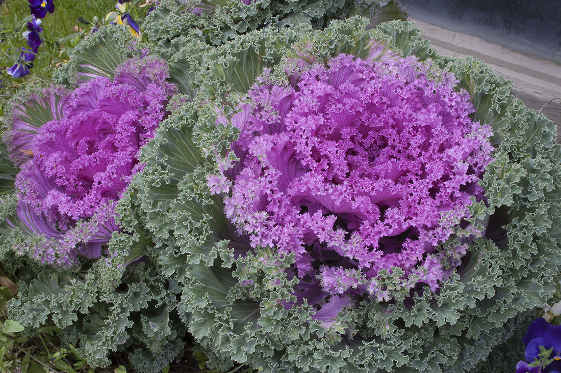Use Vegetables As Ornamentals In The Flower Garden Cooperative