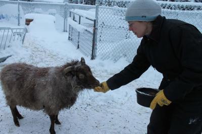 A Fairbanks farm welcomes hearty Icelandic sheep | Alaska