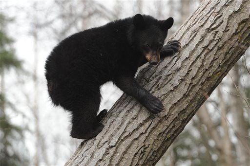 Anchorage Neighborhood Bears