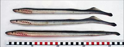 Arctic lamprey