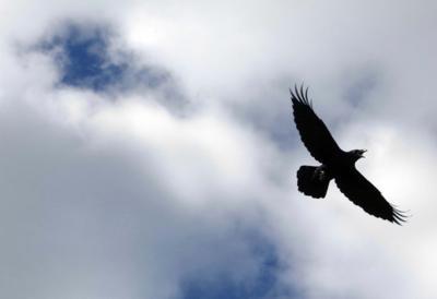 Alaska raven