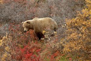 Grizzly bear attacks bicyclist in Cantwell