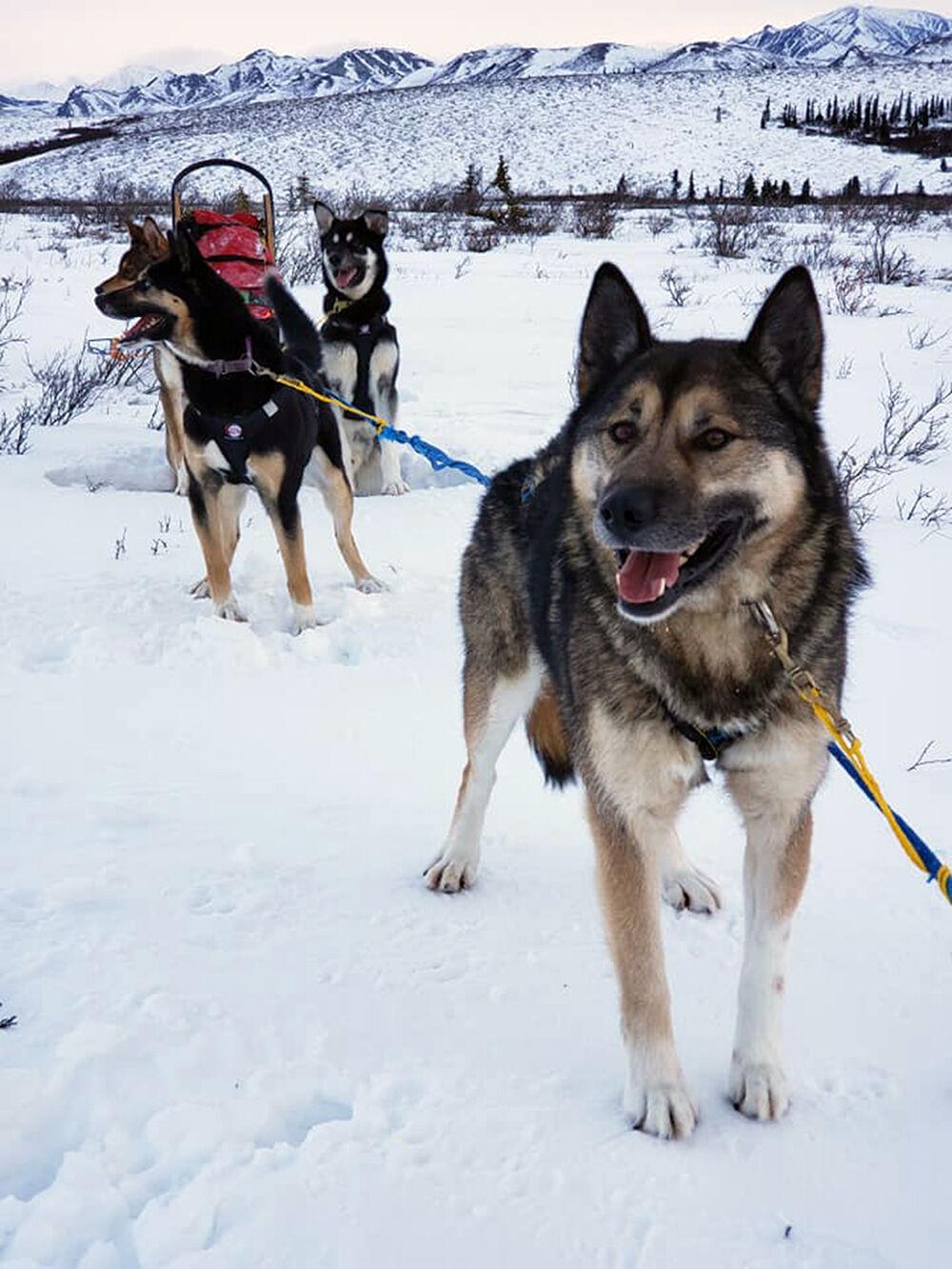 Denali dog patrol