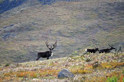 Fortymile caribou