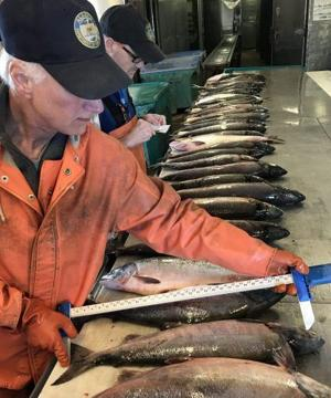 Alaska salmon returning smaller amid climate change, competition with hatchery fish, study finds