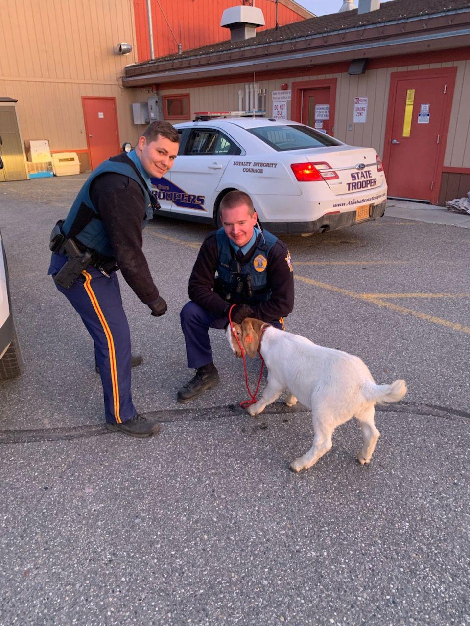 Goat captured