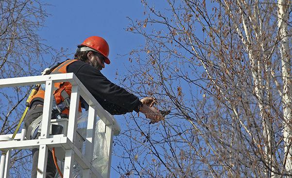 Birch Tree Samples