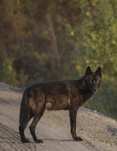 Riley Creek Wolf Pack