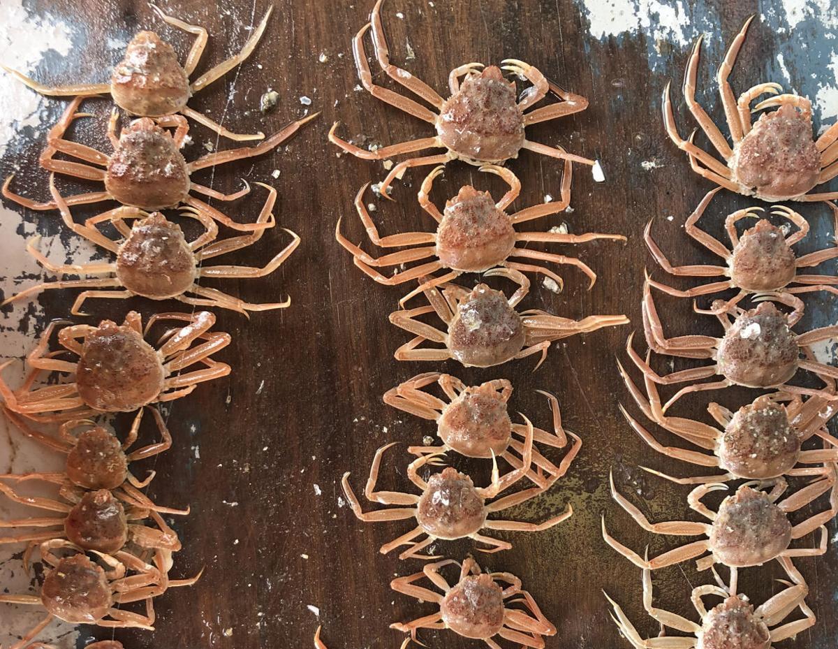 Juvenile snow crab