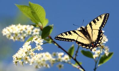 Canadian tiger swallowtail butterflies an early summer sight