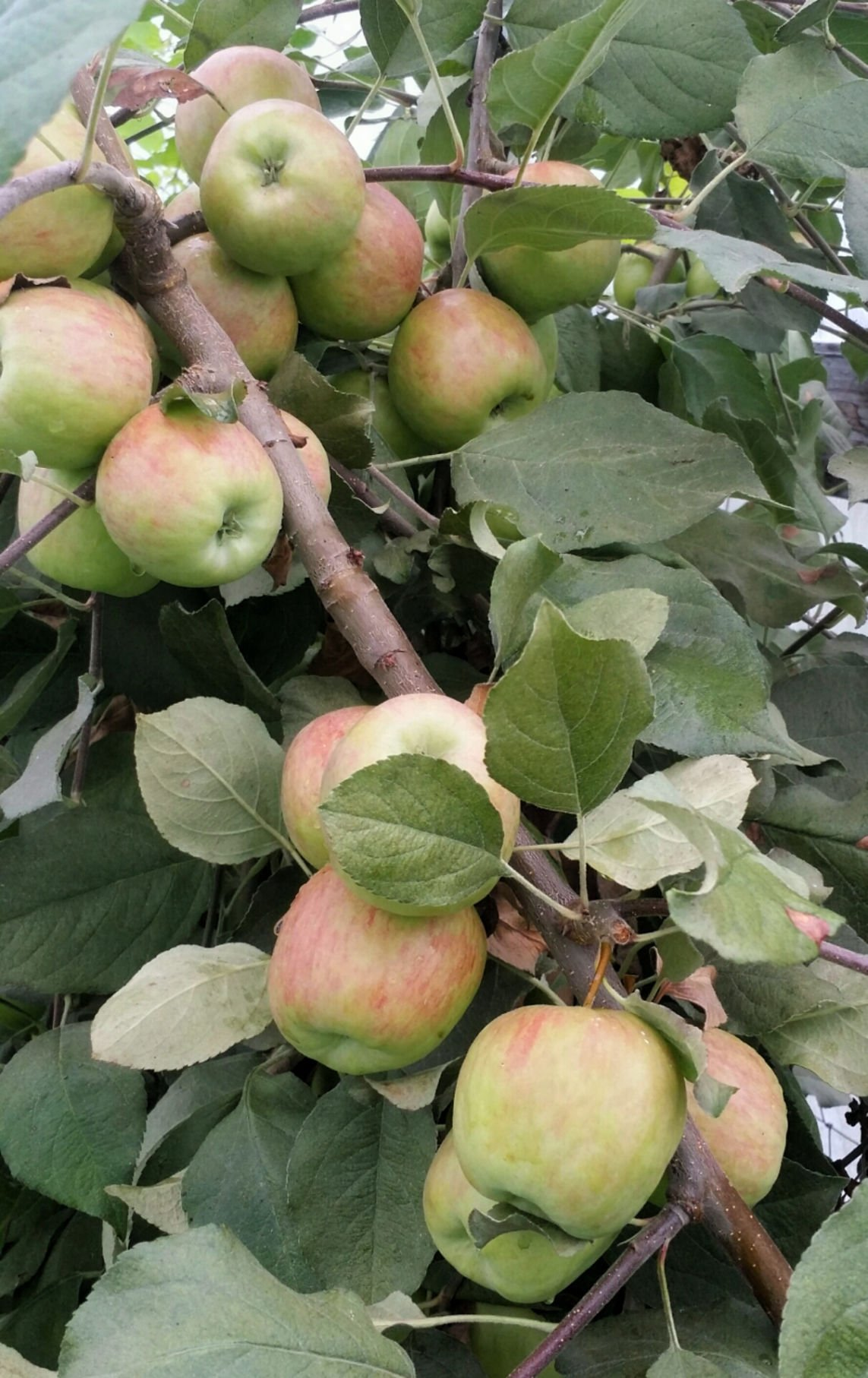 Cooperative Extension apples