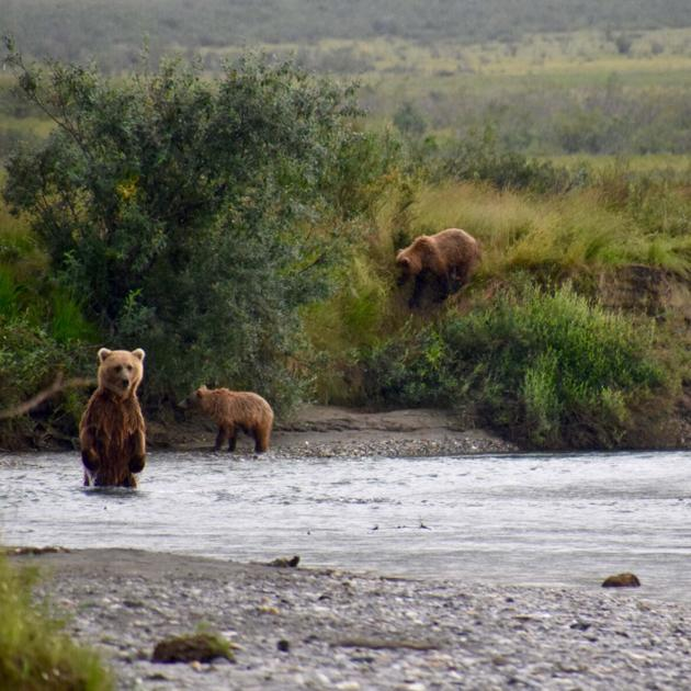 Bears alert scientists to secret salmon streams