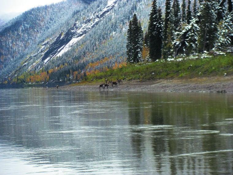 fortymile caribou herd makes waves by crossing yukon river in alaska