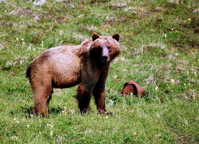 Brown bear in Wrangell-St. Elias