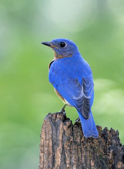 8.30 bluebird DSC_4591 ps4 3 inches wide