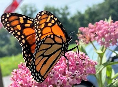 1. Monarch Nectaring on a Swamp Milkweed