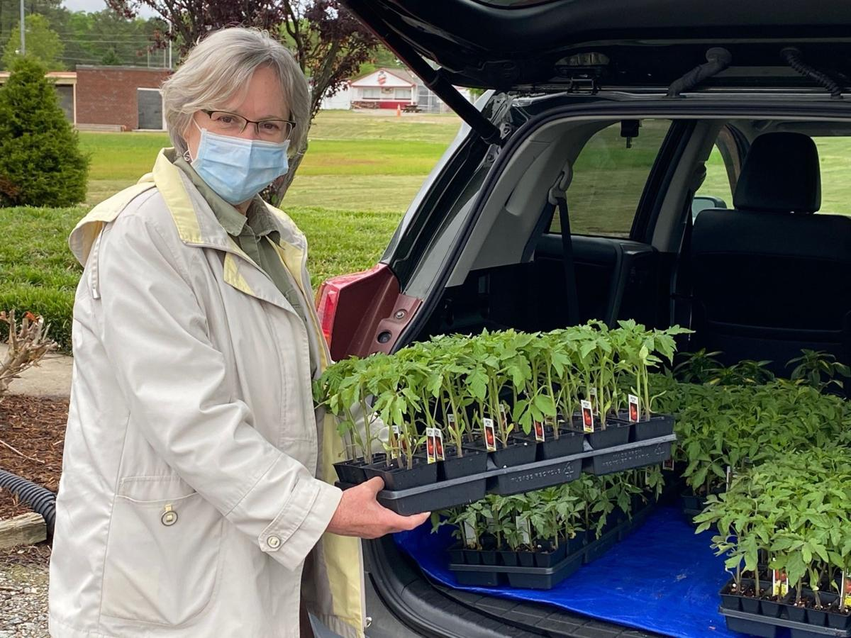 Cathie Elliott - RGC - delivers tomato plants for On the Go packets