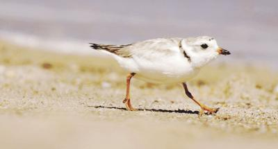 Beach Concerts Cancelled-Nesting Birds