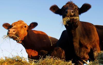 Placehoolder beef cows