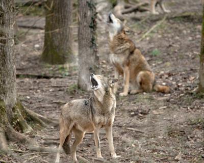 Endangered Wolf Center Missouri