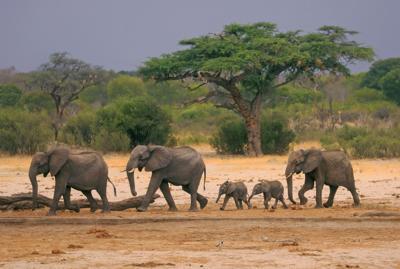 Zimbabwe Dying Elephants