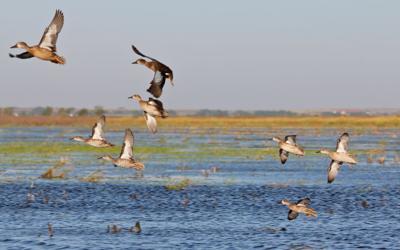 Waterfowl photo
