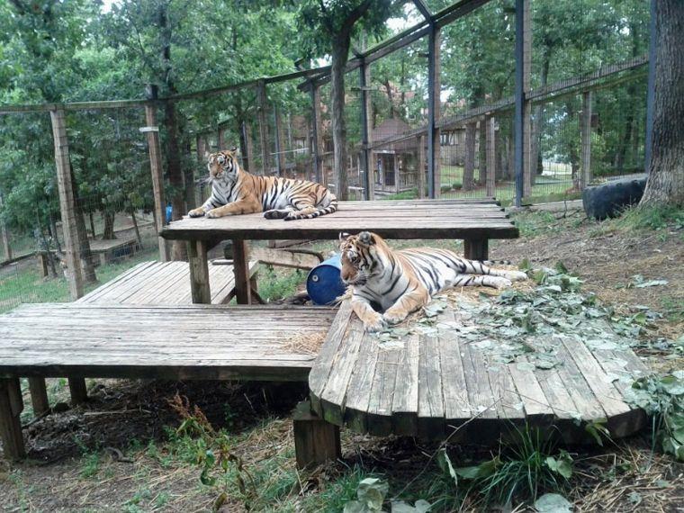 140302_tigers