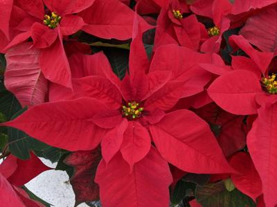 An ageless floral gift during the holiday season