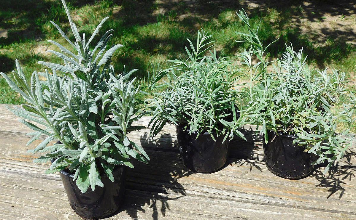 The Benefits Of Adding Lavender To Your Garden Home Garden