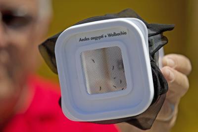 Dengue Resistant Mosquitoes