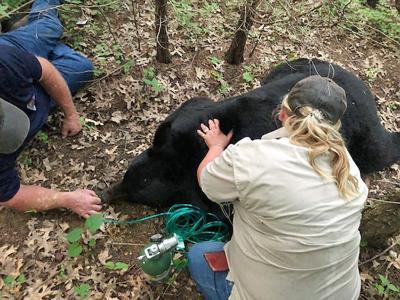 Black bear Bruno