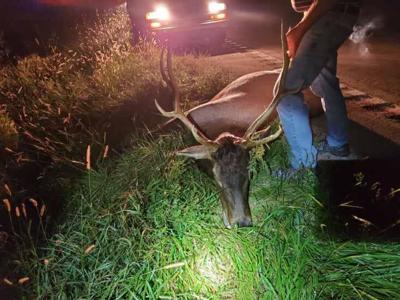 Elk struck in Nodaway County