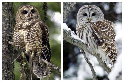 What Can Be Saved Owls