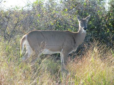 Missouri sets 2018 deer seasons | Outdoors | newspressnow com