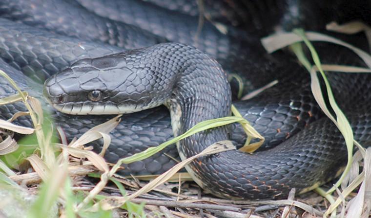 130316_outdoors_rat_snake