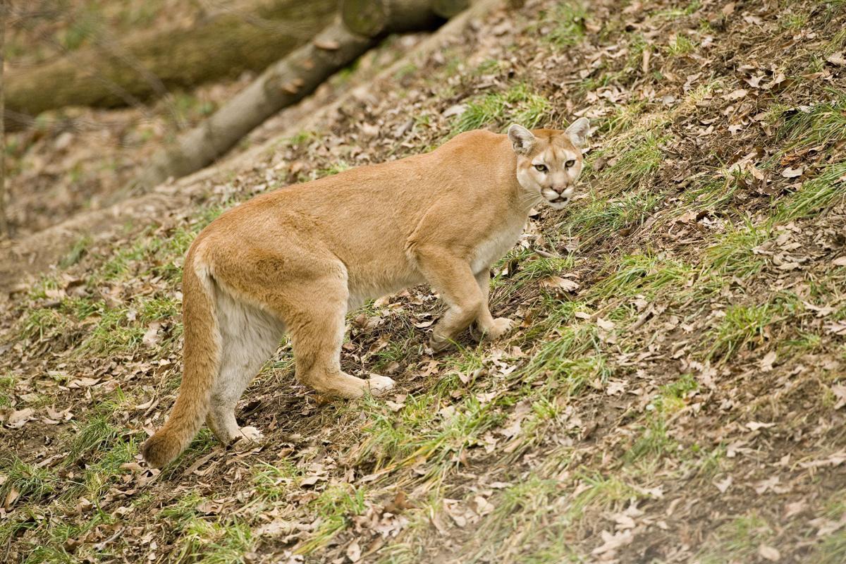 Mountain Lion Sightings Increase In Missouri Outdoors Newspressnow Com