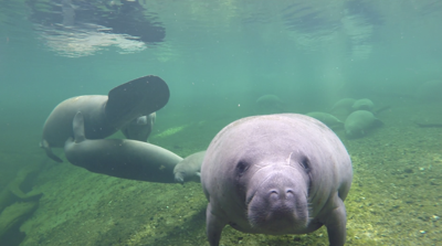 Florida Manatees are dying at a higher rate than previous years