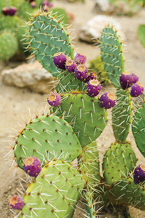 2nd Prickly Pear Festival