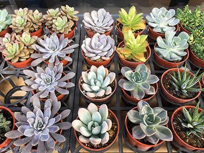 Succulent Sale