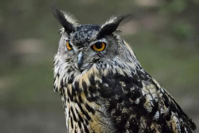 Birds of prey at Oswego library Oct. 26