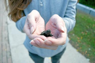 Saranac Laker saves snapping turtles