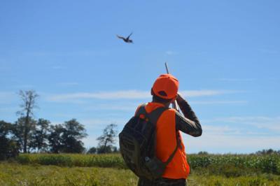 Pheasants being released by DEC