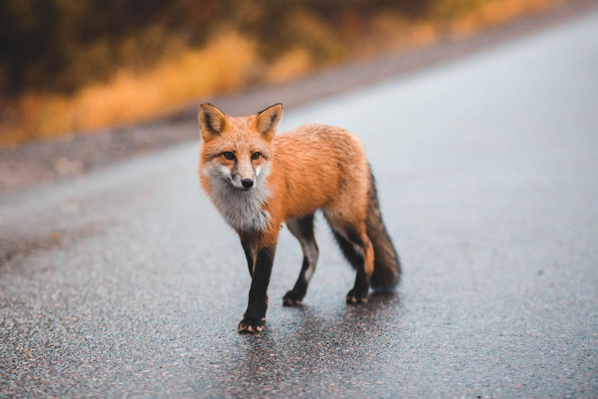 Fox Tests Positive For Rabies In Ellisburg Health Matters Nny360 Com