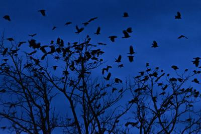 Mayor wants police trained to kill crows