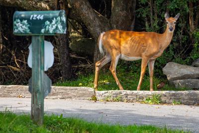 Fatal deer disease found in N.Y.