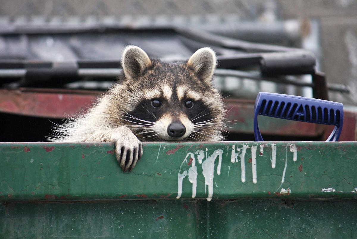 Raccoons, squirrels, skunks and wild turkeys make the most annoying neighbors