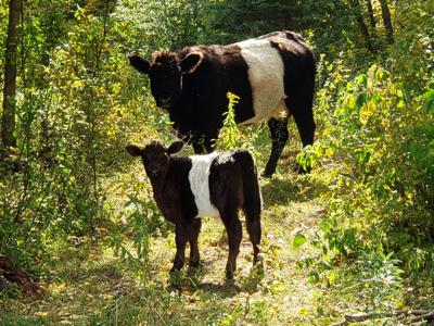 Cows in the clearing